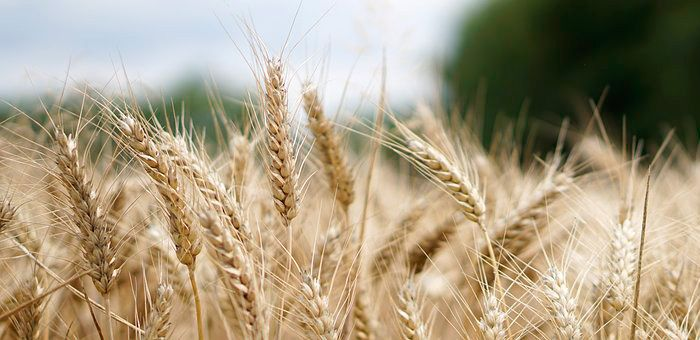 U.S. wheat production to fall to lowest level since 2002